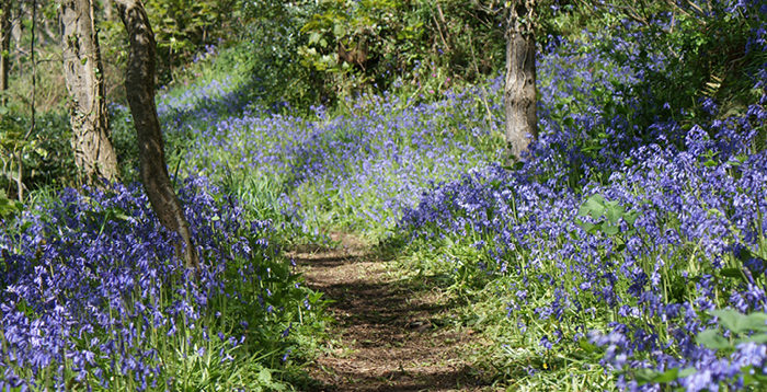 Bluebell Wood | Lobb Fields Camping and Caravan Park